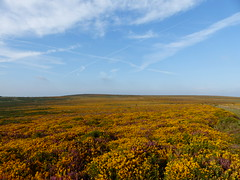 P1010354 (jrcollman) Tags: plants places devon dartmoor callunavulgaris ulexgallii eplant ericacinerea cplant haytortohoundtor