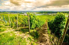Rdesheim am Rhein (Alessandro Tortora) Tags: germany deutschland vineyard rossana germania weinberg trauben bingen 2014 weingut rdesheimamrhein rdelsheim daroestephie