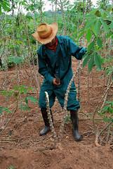 Preparing to harvest cassava roots (IITA Image Library) Tags: harvesting cassava manihotesculenta cassavaroots