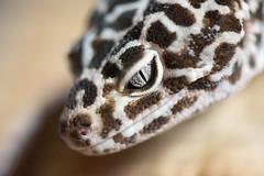 Reptiles (simon.crittenden) Tags: closeup eublepharismacularius leopardgecko lizard macro reptile london unitedkingdom