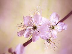 Retro Magic (Smiffy'37) Tags: hawthorn blossom retro pink flowers nature closeup macro spring