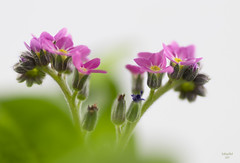 Rhapsody in Pink [Explored March 16 2017] (eMMa_bOOm) Tags: forgetmenot pink flower macro stacking green studio daylight colours natural nature coloured colour hues heart petals