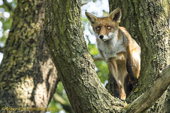 Fox climbing a tree. (steven_crw) Tags: fox foxes vos vossen natuur nature wildlife netherlands animal ngc tree climbing outdoor