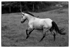 af0701_5773 BW (Adriana Füchter) Tags: brazil horses bw horse beauty animals brasil fauna rural caballo cheval star state farm side country symmetry pasto fries cavalos ameland impressed pferde cavalo pferd finest natures equine chevaux paard paarden sweetface equino galope slott equines friese friesche pastando pferden pastagem mywinners friesische professionalequineimages snogeholms
