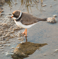 Semipalmated Plover (jimbobphoto) Tags: bird water maryland swamp sandpiper