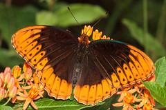 Diana Fritillary (Speyeria diana), near Chattanooga, Tennessee (kmalone98) Tags: butterflies brushfoots speyeriadiana dianafritillary raretennesseebutterflies nabachattanooga