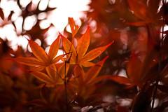 Japanese Maple (*Tim Grey) Tags: red summer orange brown 3 plant tree beautiful canon photography eos japanese 50mm grey tim leaf spring maple branch mark iii 5d dslr ef mk sasebo mk3