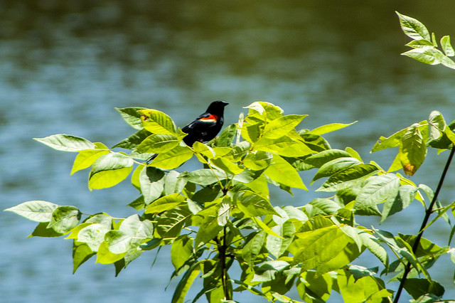 Jackson-Washington State Forest - Knob Lake - Red-winged Blackbird - June 25, 2014