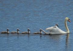 Hitching a Ride (Hatto26) Tags: uk family bird swim swan wildlife norfolk cygnet paddle reserve norwich broad fen fenland rspb strumpshaw broadland
