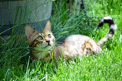 Maya Lee (heartinhawaii) Tags: pet cute cat kitty bengal mypet petportrait spottedcat bengalcat catlove catphotography catingrass mayalee mayacat petphotogtaphy nikond3100 partwild mayaleebengal