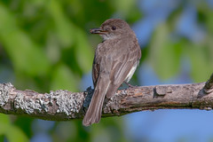 Eastern phoebe (Phiddy1) Tags: