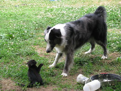 You wanna go!! (horses merci) Tags: dog black kitten farm stare australianshepherd spitting bluemerle hissing