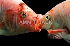 French kiss (Globetrotter Jack) Tags: africa red wild white fish love nature face animal animals closeup mouth studio happy aquarium fight hug kiss kissing couple underwater affection expression stripes wildlife pair conservation marriage romance relationship photograph zebra tropical mating valentines spotted lover predator tilapia powerful greeting striped valentinesday gentle carnivore nutrition saintvalentine frenchkiss loverboy cople