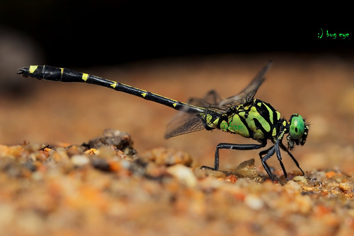 Burmagomphus divaricatus (Lieftinck,1964) / แมลงปอเสือพม่าท้องขีดเหลือง (male)