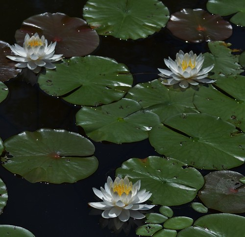 The White Water Lilies Of Rieve's Pond