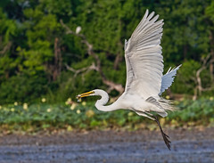 Great Egret with fish (Mike Matney Photography) Tags: bird heron nature water birds canon illinois midwest wildlife stlouis july explore horseshoelake egrets 242 2014 eos7d