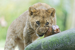 Lion cub with meat on the branch
