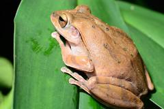 White-Lipped Treefrog 1 (Bob Hawley) Tags: nature asia wildlife taiwan amphibian polypedatesmegacephalus whitelippedtreefrog tokina100f28 nanhuareservoir nikond7100