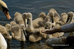 (Brian Sayle) Tags: liverpool swans 7d handheld cygnets seftonpark 70200mm 200mm canonef70200mmf4l canon70200mm eos7d canoneos7d canon7d briansaylephotography briansayle