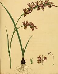 Anglų lietuvių žodynas. Žodis genus xeranthemum reiškia genties xeranthemum lietuviškai.