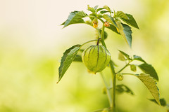 Wild Tomatillo Plant Tomatillo Wjcay Tags Plant