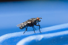 Fly on blue (Mikko Miettinen) Tags: blue macro insect fly onblue