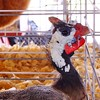 Ginny Hen at Prince William County Fair, 2014 (Stephen Little) Tags: 18mm princewilliamcountyfair sigma18250 sigma18250mm sigma18250mmf3563 sigma18250mmf3563dcoshsm sonya77 jstephenlittlejr sigma18250mmf3563dcoshsm880205 slta77 sonyslta77 sonyslta77v sonyalphaslta77v