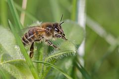 Apis mellifera (Sinkha63) Tags: france honey miel honeybee fra abeille limousin apis beynat hymenoptera insecta apismellifera apocrita apidae apinae westernhoneybee avette europeanhoneybee abeilleàmiel abeilleeuropéenne moucheàmiel annesorbes