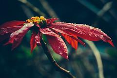 Un día húmedo (emiliokuffer) Tags: morning flower macro water leaves hojas droplets drops agua flor gotas