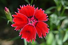 Carnation (Ramona R*** - Visual Metaphors) Tags: flower fleur closeup flor carnation blume fiore redflower clavel nikond3200 redcarnation d3200 floare garofita ramonarican