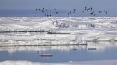 Akkiarjuq (Clare Kines Photography) Tags: canada birds north arctic waterfowl nunavut arcticbay packice longtailedduck clangulahyemalis floeedge