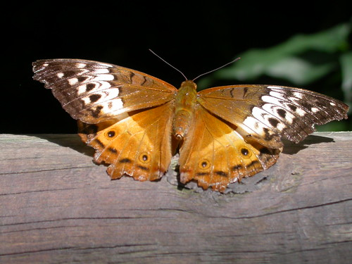 055 female cruiser butterfly, Vindula arsinoe, Australian Butterfly Sanctuary, Kuranda QLD