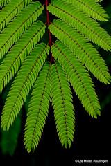 Seidenbaum (ute.mueller) Tags: albizia julibrissin schlafbaum seidenbaum seidenakazie
