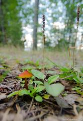 Mushroom (jukkarothlauronen) Tags: mushroom forrest sweden sverige dalsland