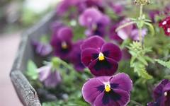 img038 (nikonanon) Tags: flowers urban film nature vintage fuji superia olympus retro 200 epson fujifilm colourful om1 perfection v550