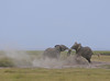 The duel at dusk. (Rainbirder) Tags: kenya amboseli loxodontaafricana africanbushelephant rainbirder