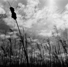 so shelter me (emily_hughes) Tags: blackandwhite abstract beach nature composite rolleiflex mediumformat reeds photography analogue