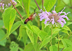 """Clearwing Hummingbird Moth on Bergamot at Negri-Nepote Native Grassland Preserve of Franklin Township New Jersey (takegoro) Tags: new flowers nature landscape hummingbird purple native wildlife moth insects bugs wildflowers grassland preserve jersey"""" """" moth"""" preserve"""" township"""" """"clearwing """"franklin """"negrinepote"""