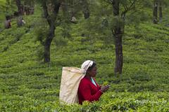 (Lucille Kanzawa) Tags: srilanka teaplantation ch tealeaves tealeaf nuwaraeliya teapicker teabasket folhasdech pedroteaestate plantaodech singhalesewoman catadoradech apanhadoradech mulhercingalesa cestodech