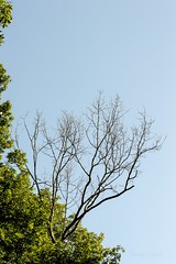"Vulnerable (AKA ""The Naked Lady"") (Carolyn Lehrke) Tags: trees sky usa nature leaves naked flora wv leafless vulnerable greenbriercounty ilobsterit"