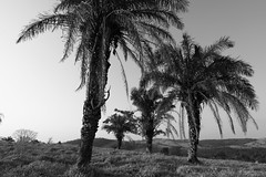Bacuri (1298) (Jorge Belim) Tags: flora pb árvore 1022 bacuri canoneos50d