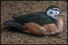 African pygmy goose (Nettapus auritus) (Xavi BF) Tags: female african goose xavier londonzoo oca pygmy africana anatidae anseriformes auritus bayod afrikaanse afrikanische farré africanpygmygoose nettapusauritus nettapus pigmea zsllondonzoo canoneos60d afrikai afrikanischezwergglanzente ocapigmeaafricana zwergente tamron70300vcusd afrikanischezwergente zwergglanzente xavierbayod xavierbayodfarré törpelúd afrikaitörpelúd dwergeend