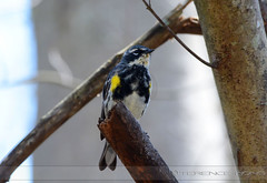 Yellow-Rumped Warbler (av8s) Tags: nature birds photography newjersey nikon wildlife nj sigma warbler yellowrumpedwarbler doubletroublestatepark perchingbirds d7100 120400mm