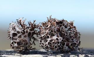 Masonhalea richardsonii (arctic tumbleweed)