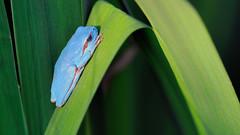 Mediterranean Tree Frog (Hyla meridionalis) (Acrocephalus Photography) Tags: nature amphibian natura frog hyla empord reineta granota hylaarborea amfibi mediterraneantreefrog parcnaturaldelsaiguamollsdelempord pnae