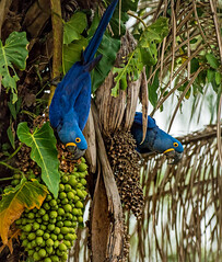 hyacinth macaw eating palm nut in the pantanal - brazil (Russell Scott Images) Tags: brazil pantanal birds hyacinthmacaw anodorhynchushyacinthinus hyacinthinemacaw parrot habitat southamerica russellscottimages