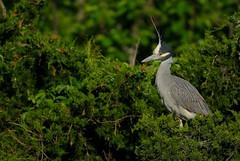 Yellow Crowned Night Heron (Mark Schwall) Tags: heron newjersey nikon nj manualfocus rookery yellowcrownednightheron nyctanassaviolacea wadingbirds heronry d300s nikkor600mmais markschwallphotographycom