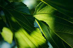 Energy and matter (enora*) Tags: tree green leaf vert vein arbre feuille nervure
