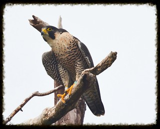 Peregrine falcon at Stateline lookout Alpine NJ
