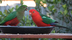 bird king feeder parrots kingparrots